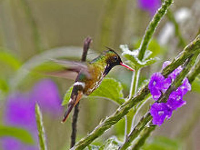 Black-crested Coquette2