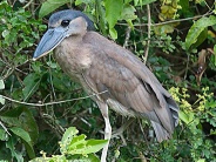 Boat-billed Heron3