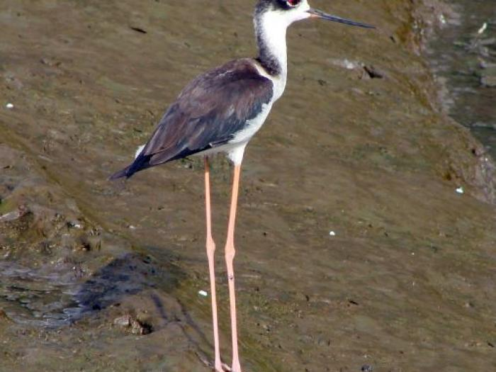 Black-necked Stilt4