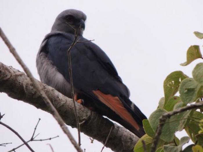 Plumbeous Kite4