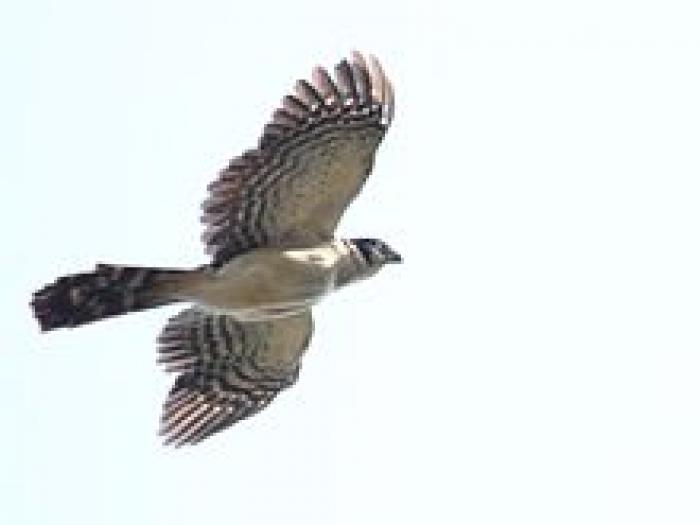 Collared Forest-Falcon4