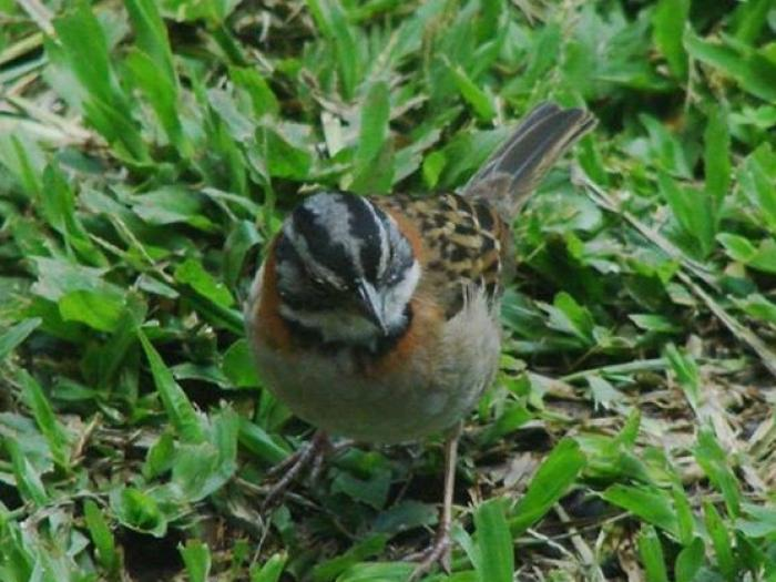 Rufous-collared Sparrow2