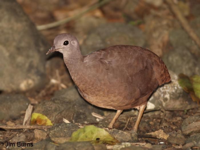 Little Tinamou2
