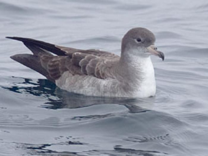 Pink-footed Shearwater3