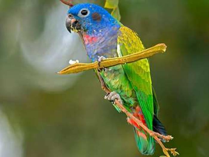 Blue-headed Parrot2