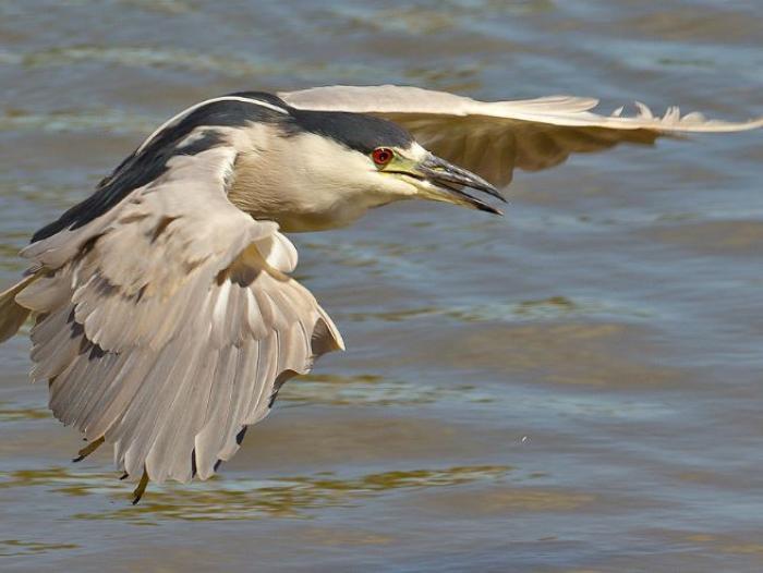 Black-crowned Night-Heron4