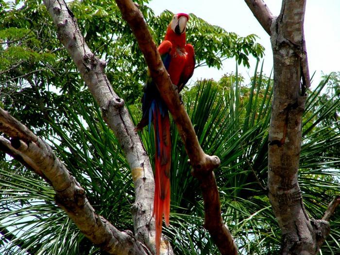 Scarlet Macaw5
