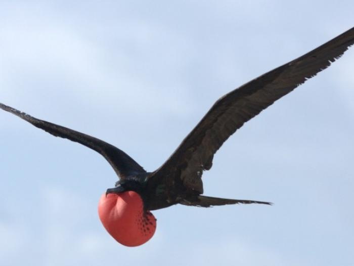Great Frigatebird3
