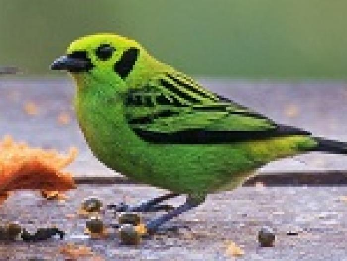 Emerald Tanager3