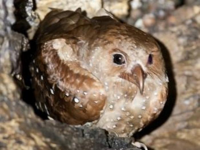 Oilbird4