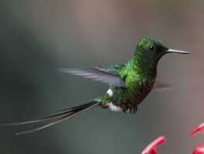 Green Thorntail2