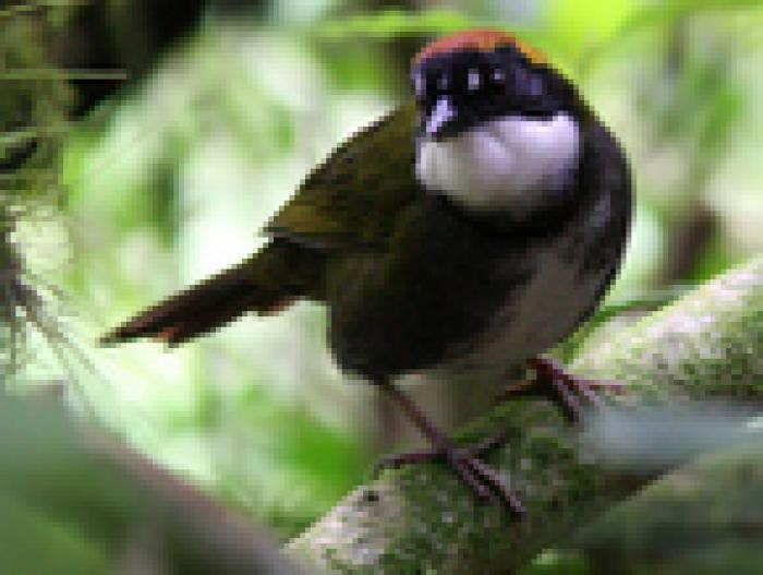 Chestnut-capped Brush-Finch4