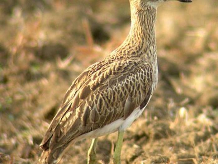 Double-striped Thick-Knee3