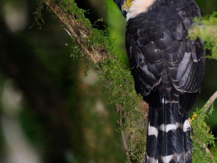 Bicolored Hawk4