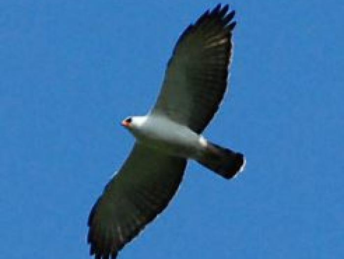 Black-and-white Hawk-Eagle4
