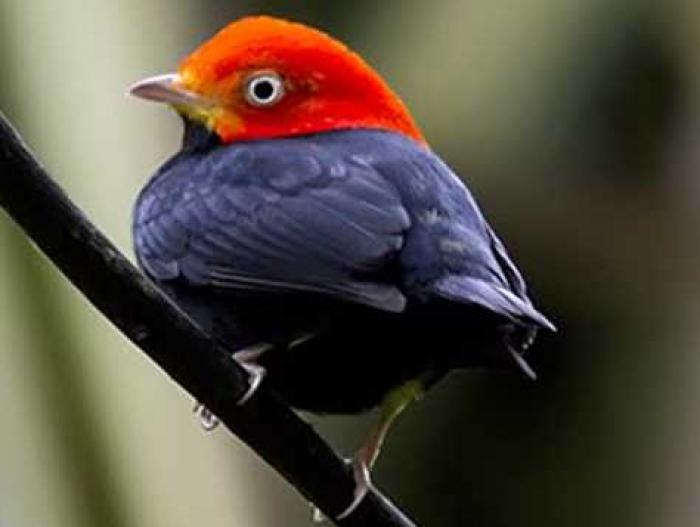 Red-capped Manakin3