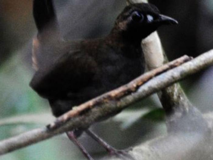 Black-faced Antthrush3