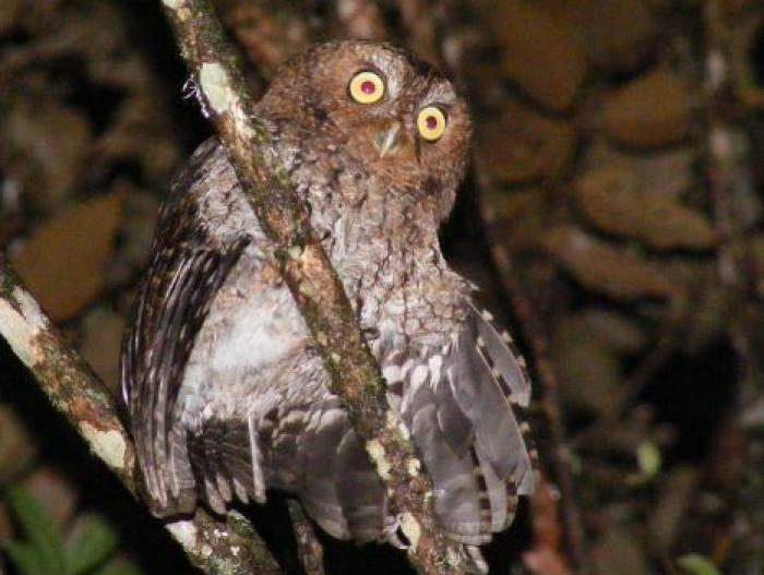 Bare-shanked Screech-Owl2