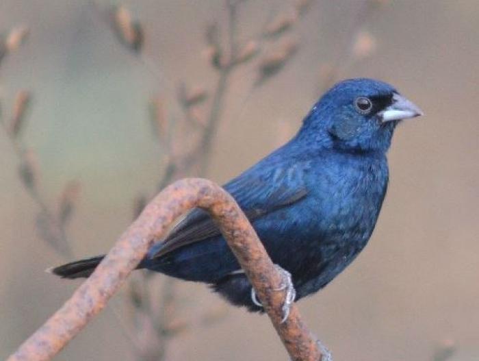 Blue-black Grassquit3