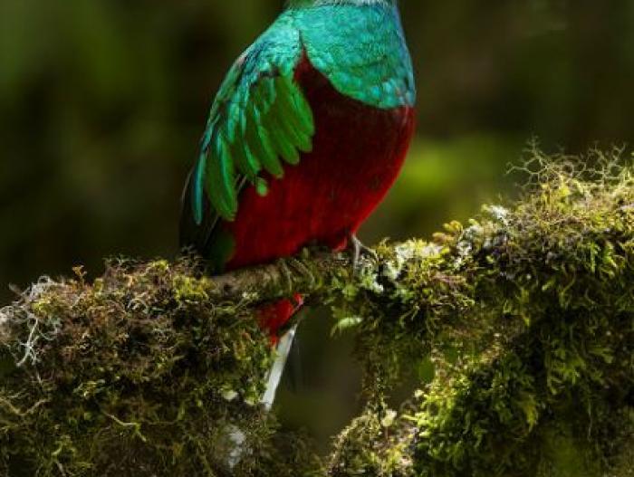 Resplendent Quetzal3