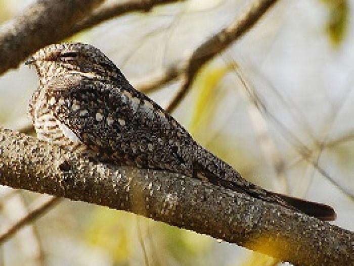 Lesser Nighthawk2