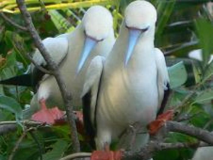 Red-footed Booby4