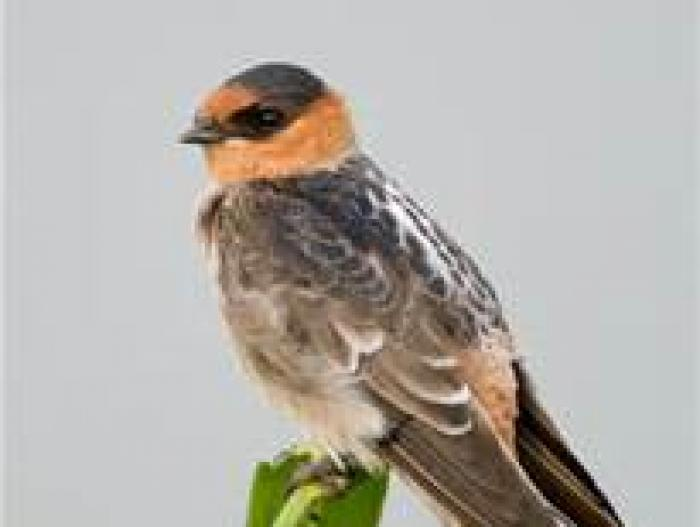 Cave Swallow2