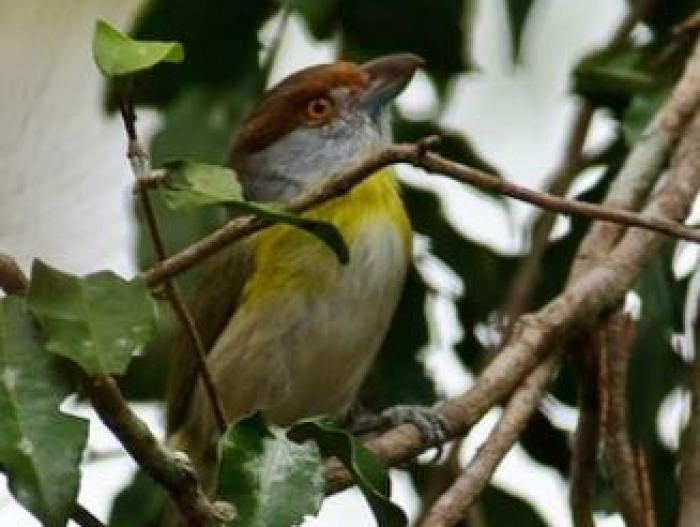 Rufous-browed Peppershrike4