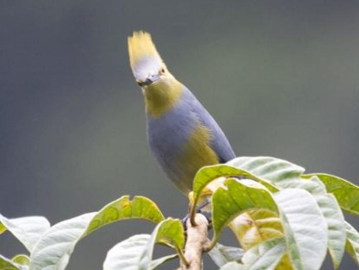 Long-tailed Silky-flycatcher3