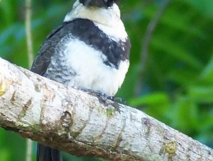 White-necked Puffbird2