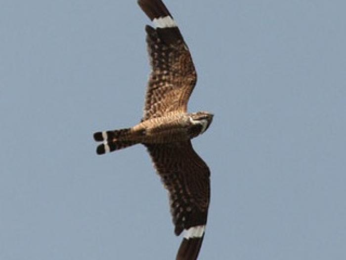 Lesser Nighthawk3