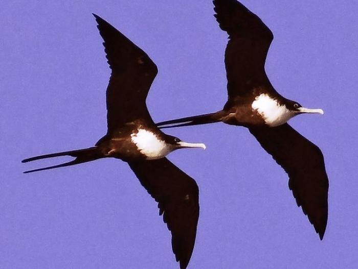 Great Frigatebird2