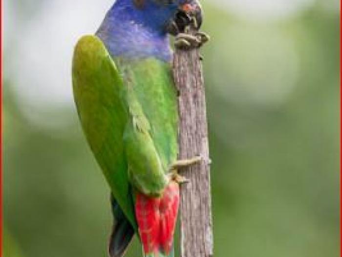 Blue-headed Parrot4