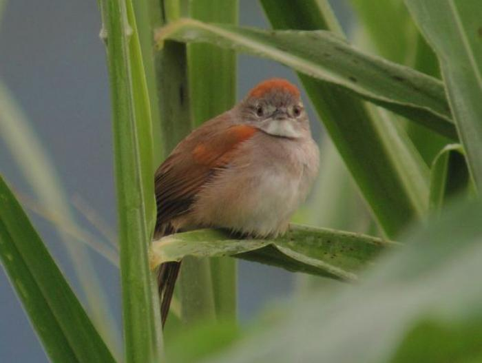 Pale-breasted Spinetail2