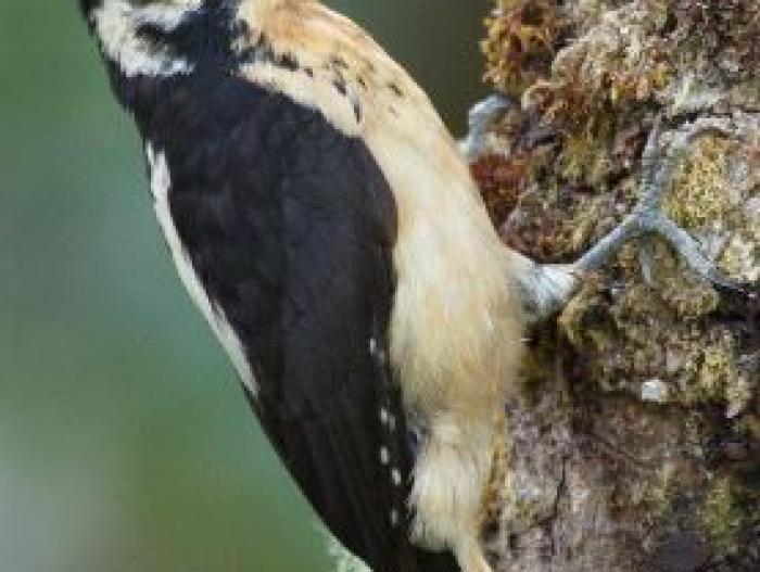 Hairy Woodpecker3