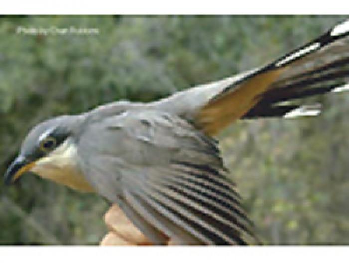 Mangrove Cuckoo2