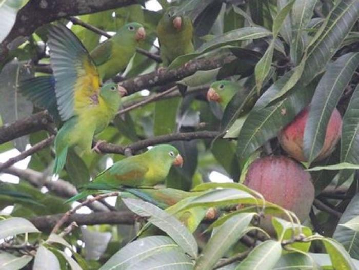 Orange-chinned Parakeet2