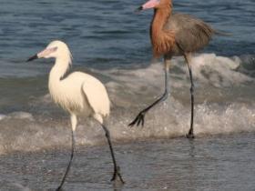Reddish Egret2