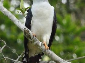 Gray-headed Kite2