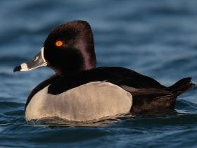 Ring-necked Duck3