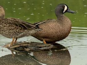 Blue-winged Teal2