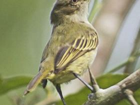Paltry Tyrannulet4