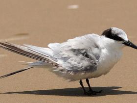 Common Tern3