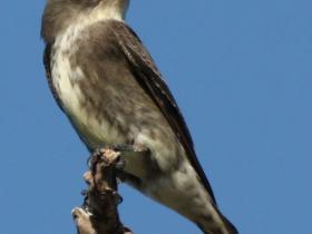 Olive-sided Flycatcher4