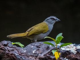Black-striped sparrow (002)