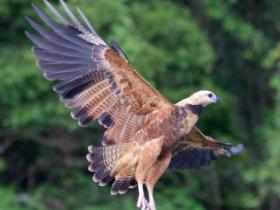 Black-collared Hawk4
