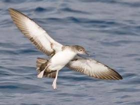 Black-vented Shearwater2