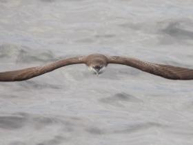 Galapagos Shearwater3