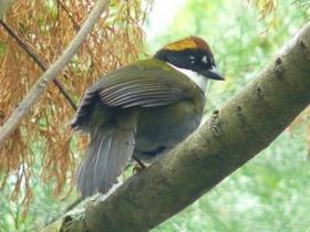 Chestnut-capped Brush-Finch3