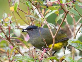 Black-and-yellow Silky-Flycatcher2